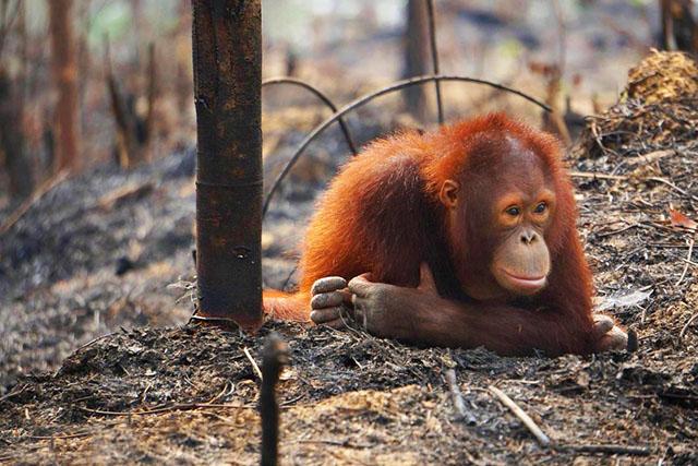 Aceite de palma deforestación peligro extinción orangután