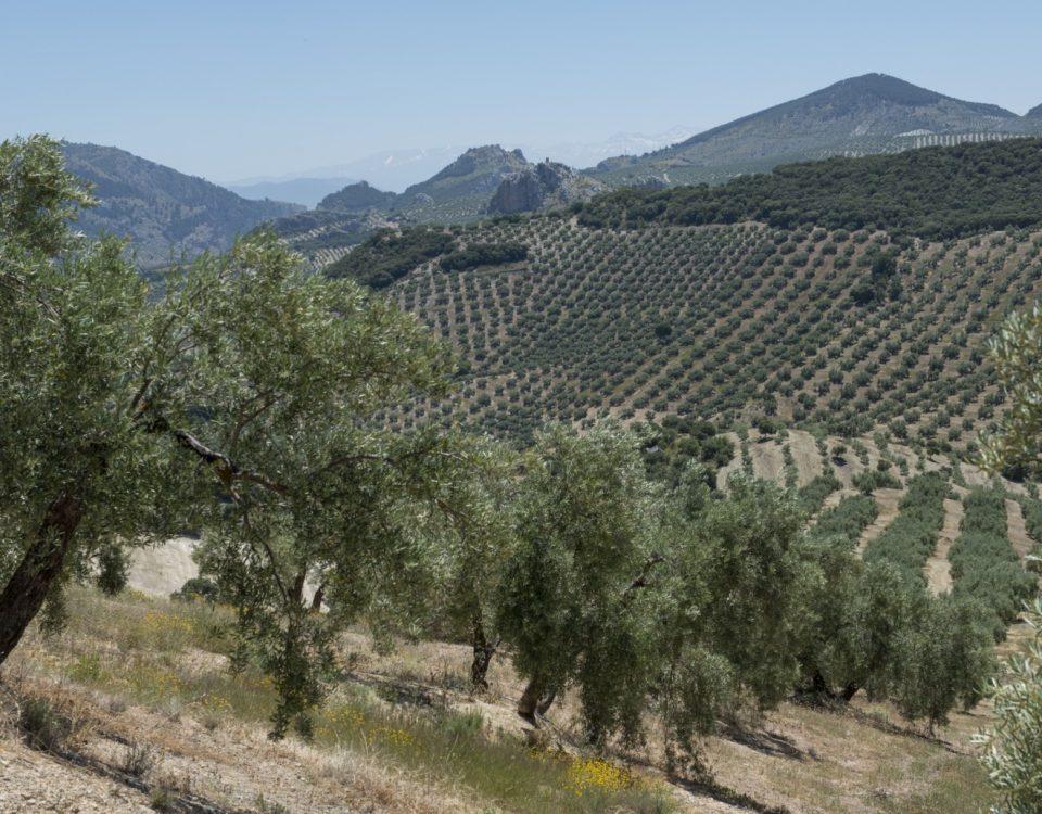 Olivar de montaña. Sierra sur de Jaén